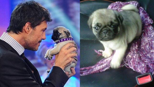 Marcelo Tinelli le regaló un cachorro Pug a Guillermina Valdés.